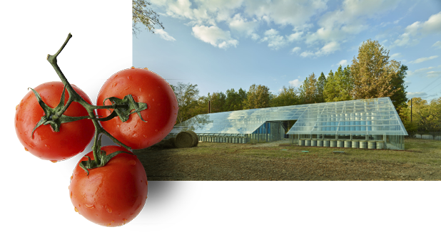 The exterior of the Rural Studio Solar Greenhouse overlain by an image of three ripe tomatoess