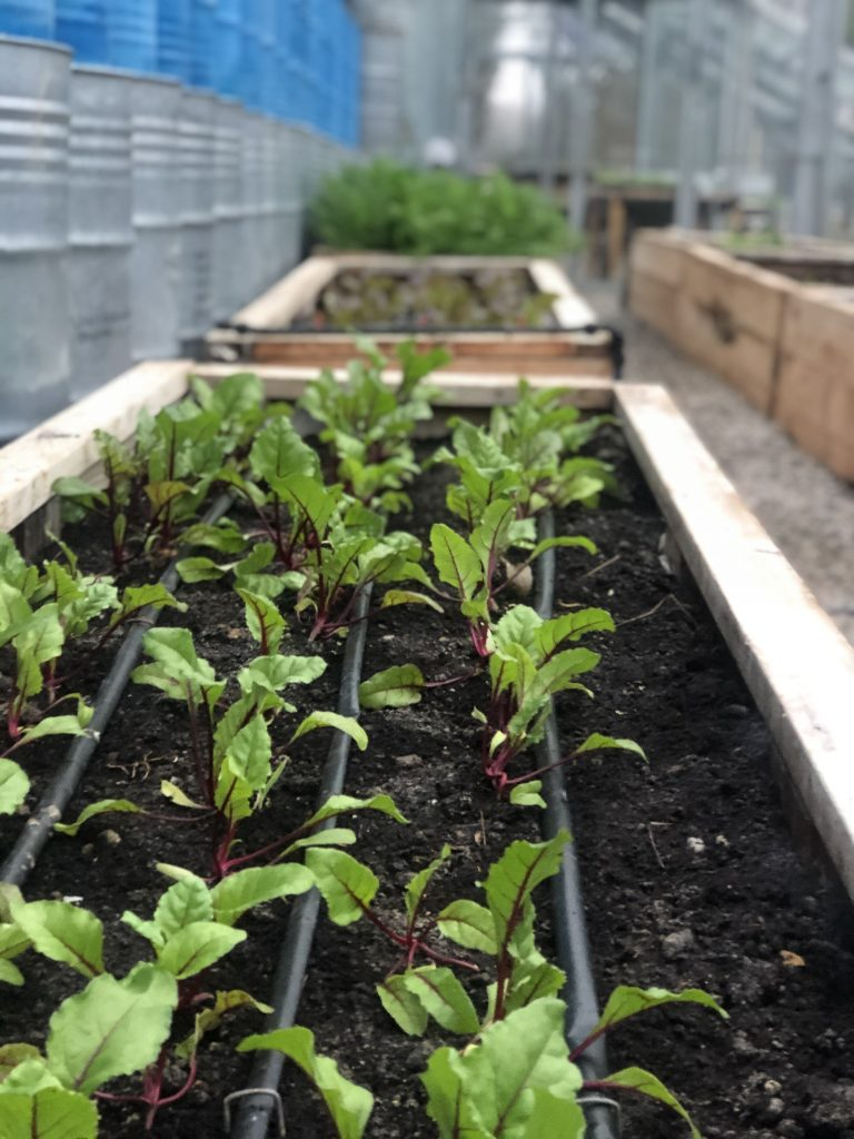 Beet seedlings are growing in the greenhouse