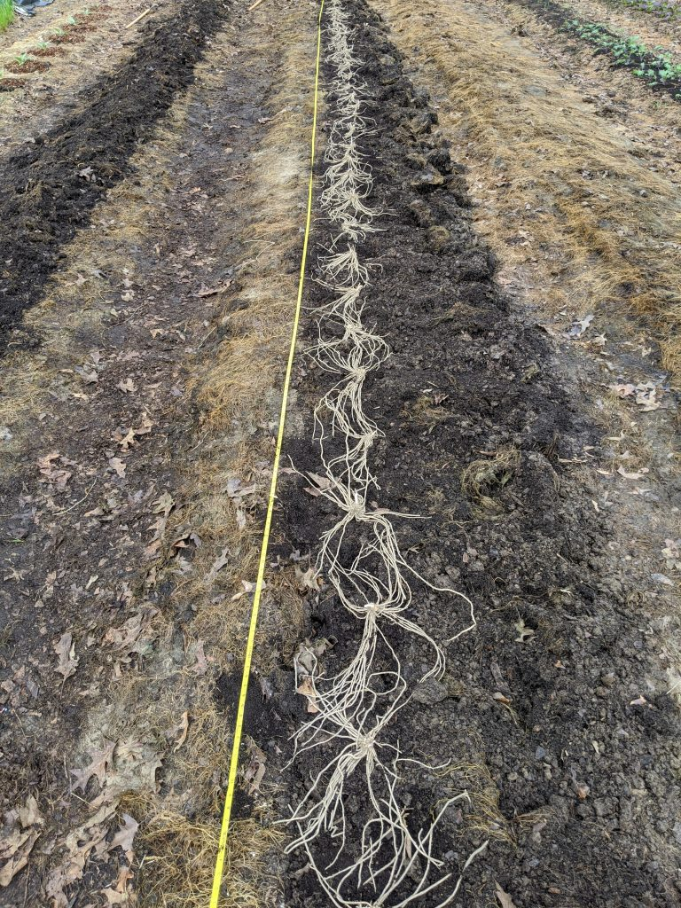 Asparagus crowns sit placed in their planting trench