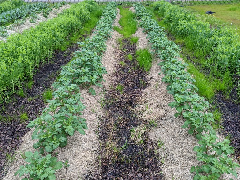 The potato plants before hay was hilled up around them