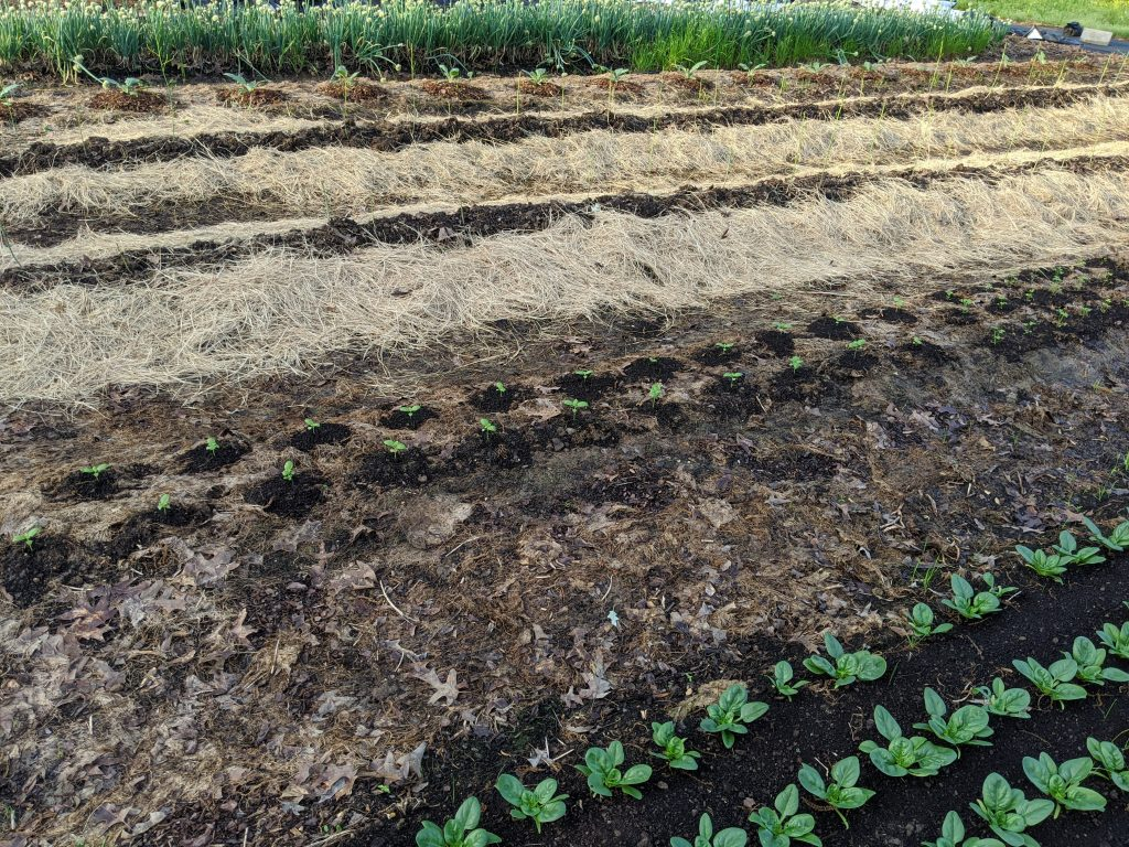 A wide view of several beds planted out with a variety of annual and perennial crops