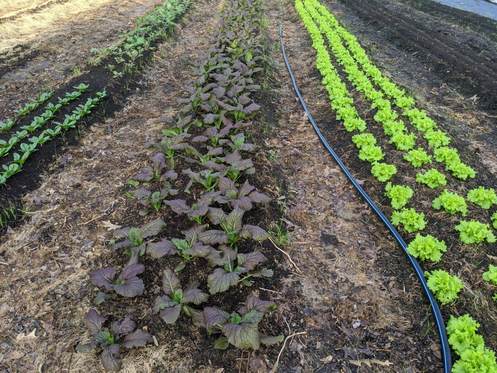 Rows of red mustard greens and lettuce