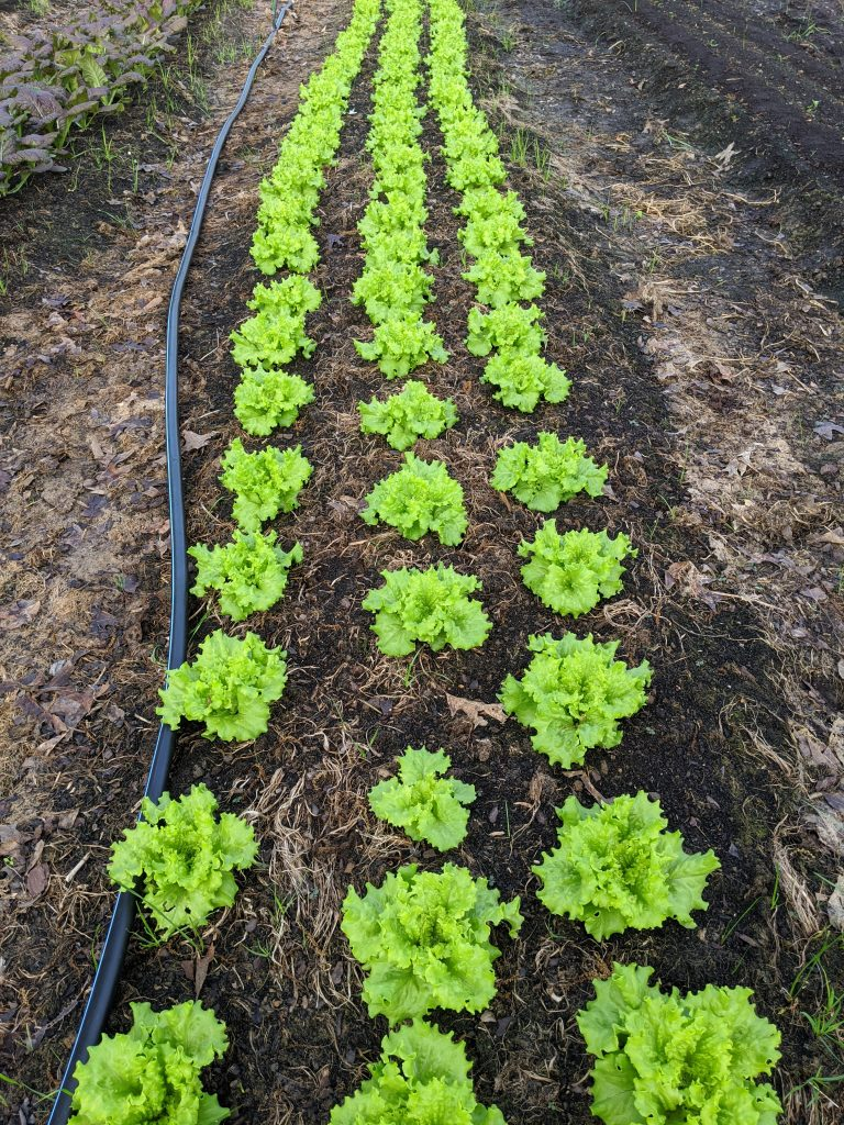 A bed planted out with growing Muir lettuce
