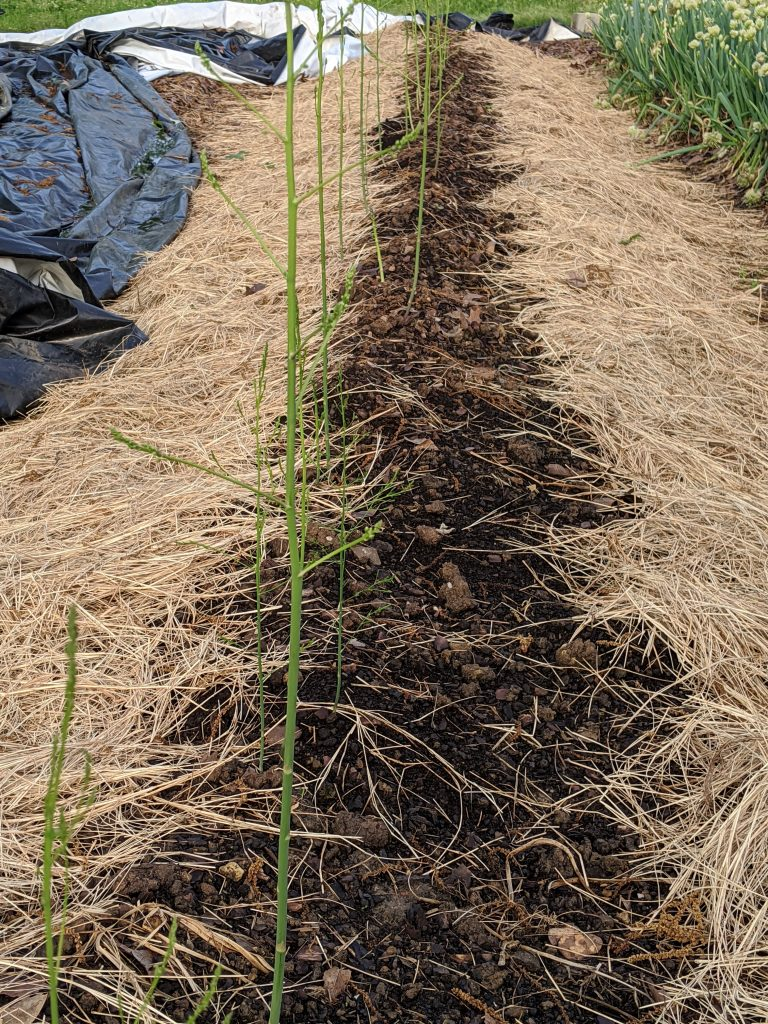 Newly emerged asparagus shoots