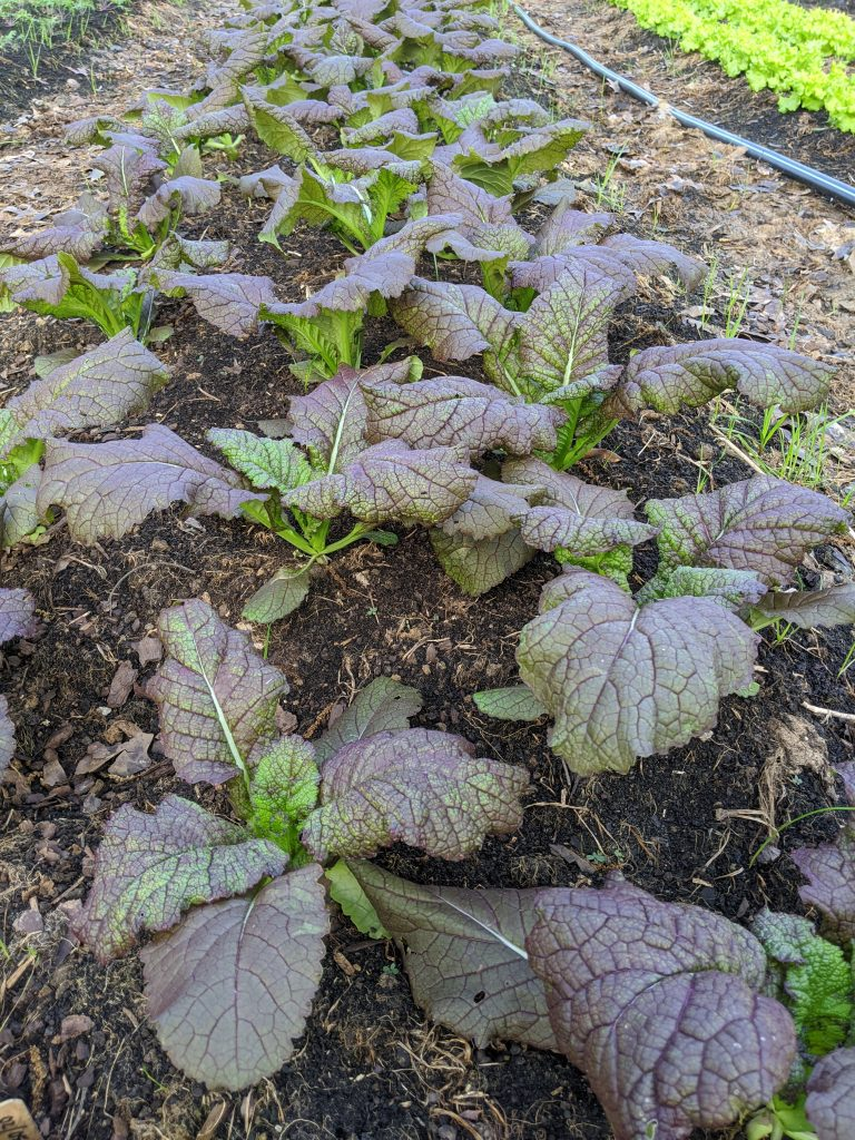 Red giant mustard plants growing