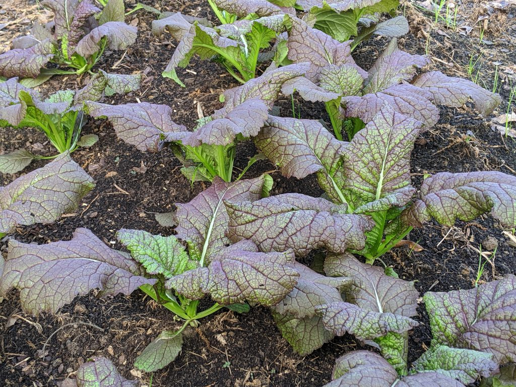 Closer view of red giant mustard plants