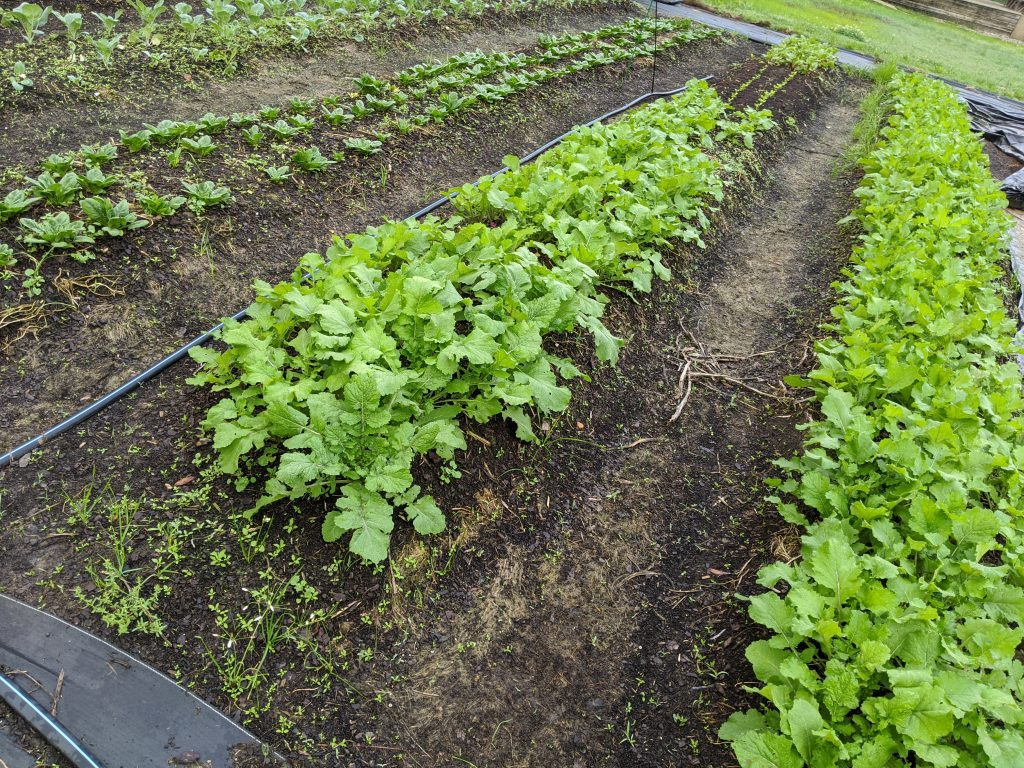 Beds planted with turnips and spinach