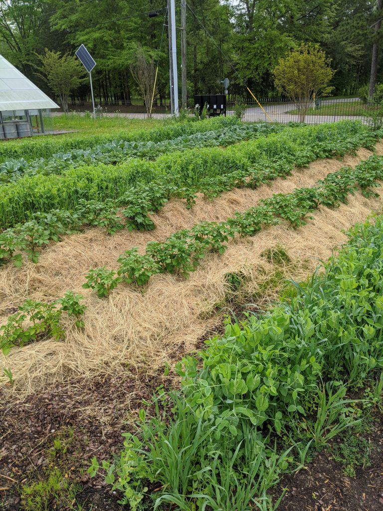 A wide view of potato plants, collards, and cover crops