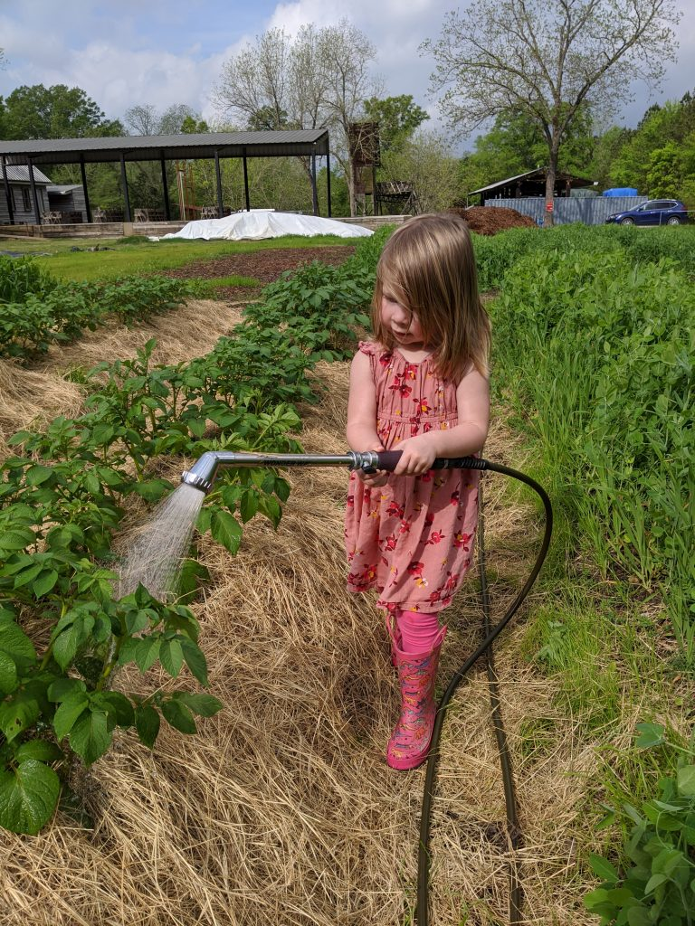 A little girl waters maturing potato plants