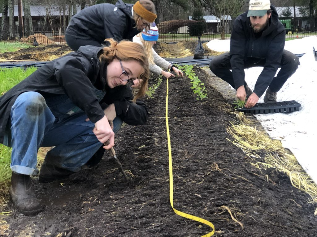 Students measure out and make holes for transplants