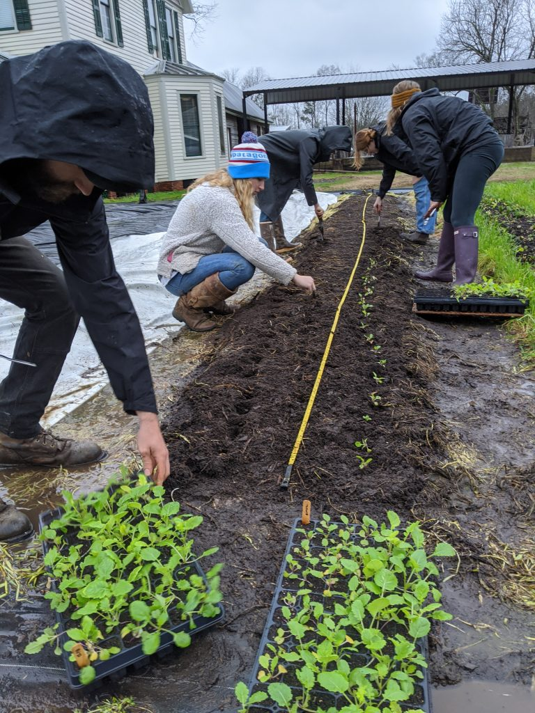 Students transplant turnips into the field