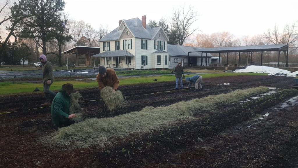 Farm workers cover newly planted seed potatoes with hay