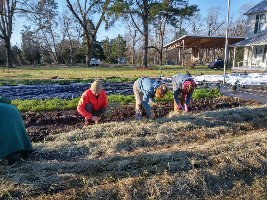 Students mulch around newly transplanted onions with hay