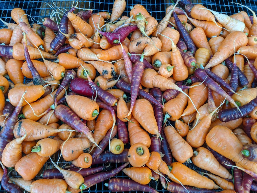 A close-up of harvested and washed carrots, both purple and orange