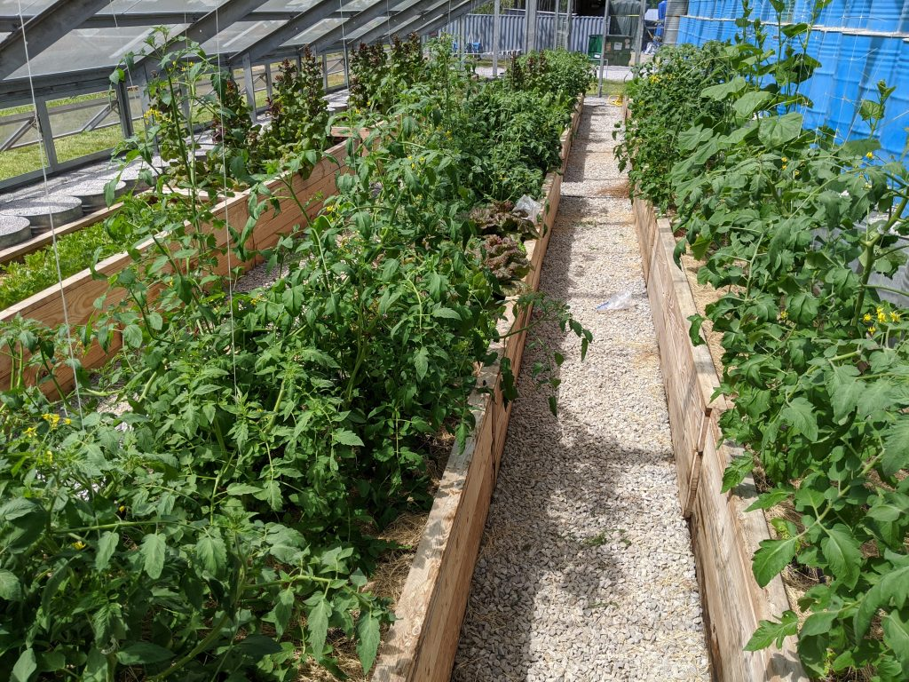 A wide view of greenhouse crops, with prominent tomatoes