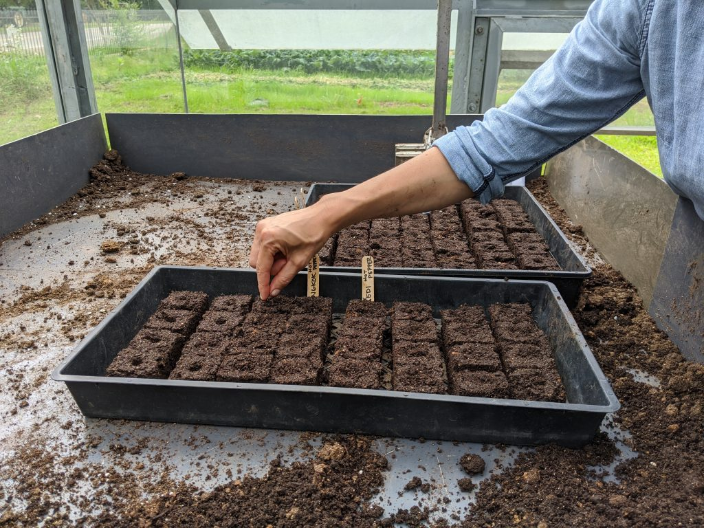 A professor is planting seeds into prepared soil blocks