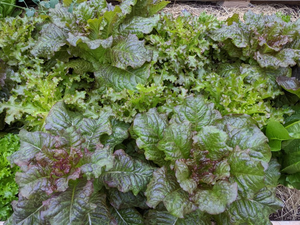 A close-up of several red lettuce varieties