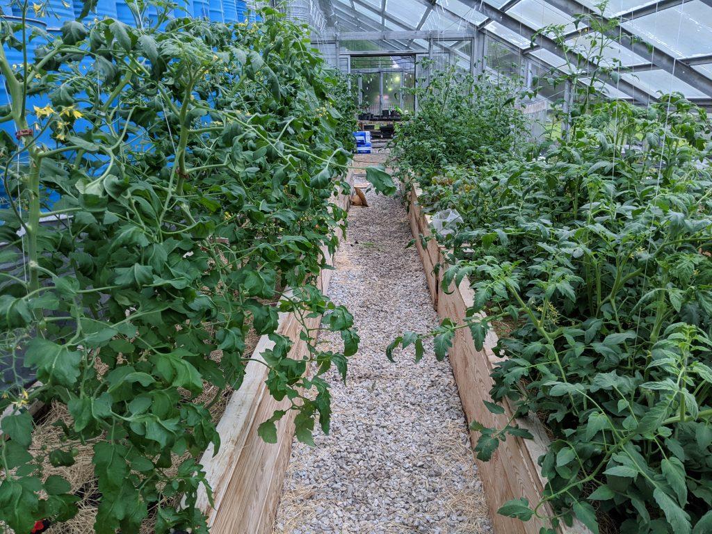 Greenhouse-grown tomatoes growing