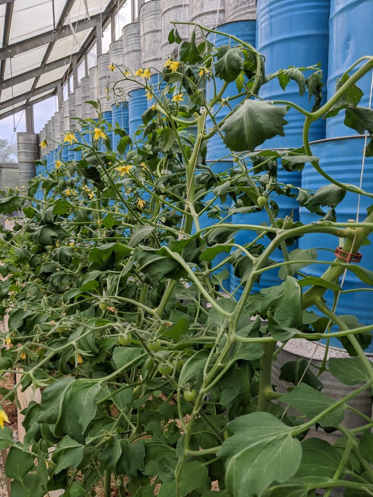 Greenhouse tomatoes growing upright with fruit and flowers
