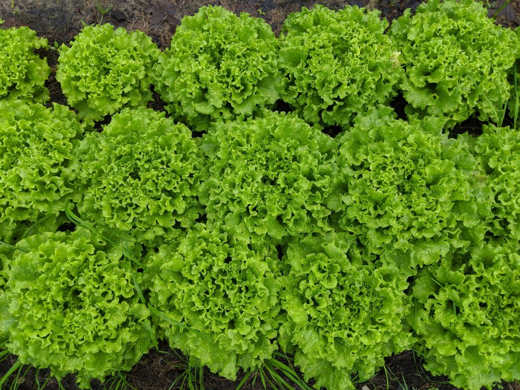 A close-up of Muir type lettuce in the field