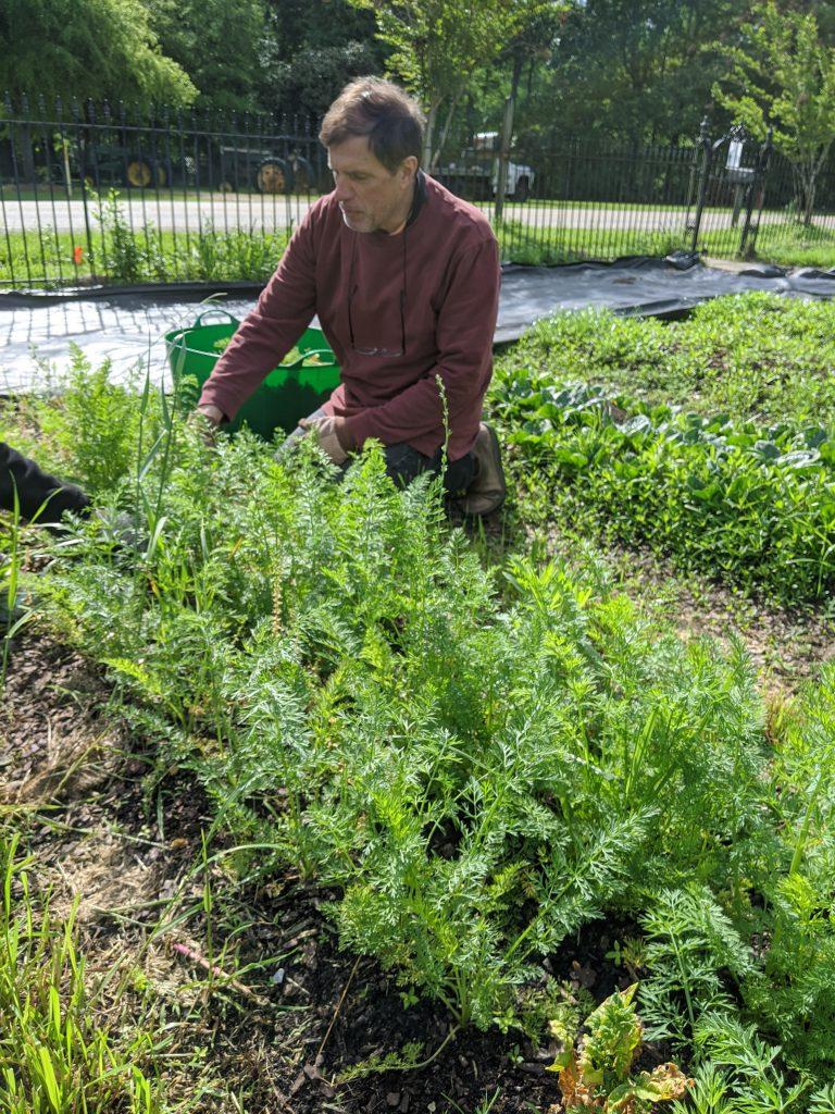 A professor picks carrots in the field