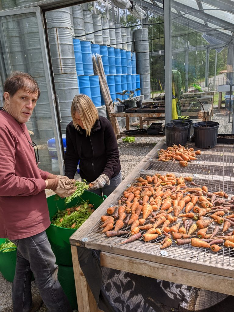 Two professors trim harvested carrots
