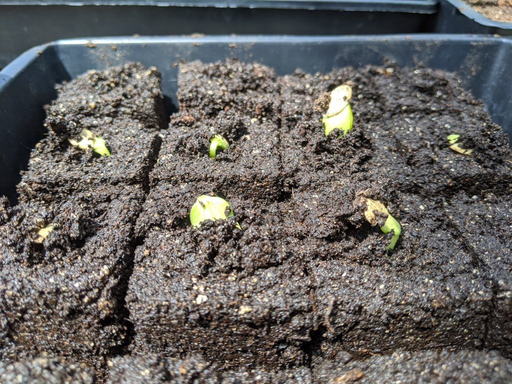 Zucchini seedlings just starting to emerge from soil blocks
