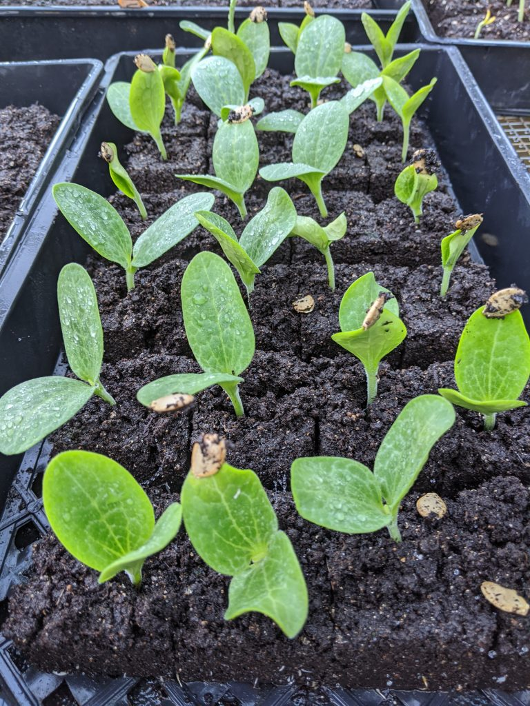 Zucchini seedlings emerging out of soil blocks after 6 days