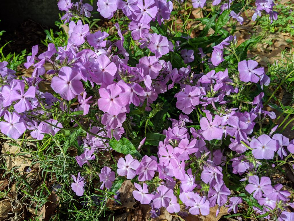 A close-up of woodland phlox in bloom