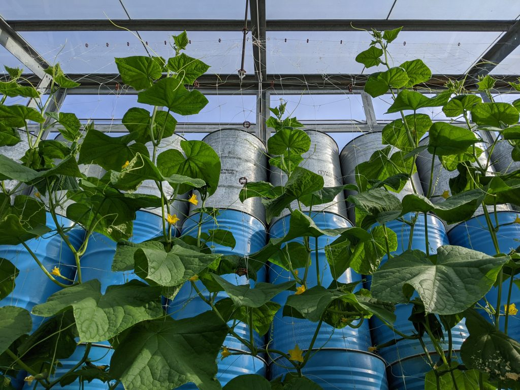 Cucumbers growing tall on the trellis in the greenhouse