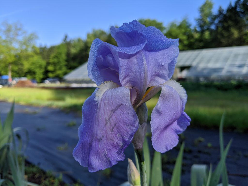 A close-up of a blue iris flower