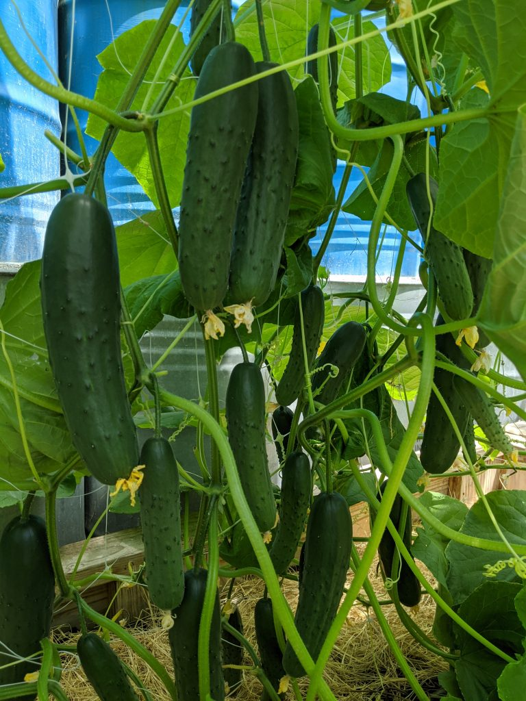 Loads of mature cucumbers hang from the trellised plants in the greenhouse