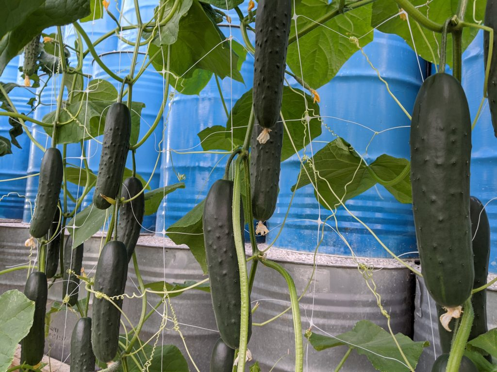 Cucumbers hang ready on the vines for harvest