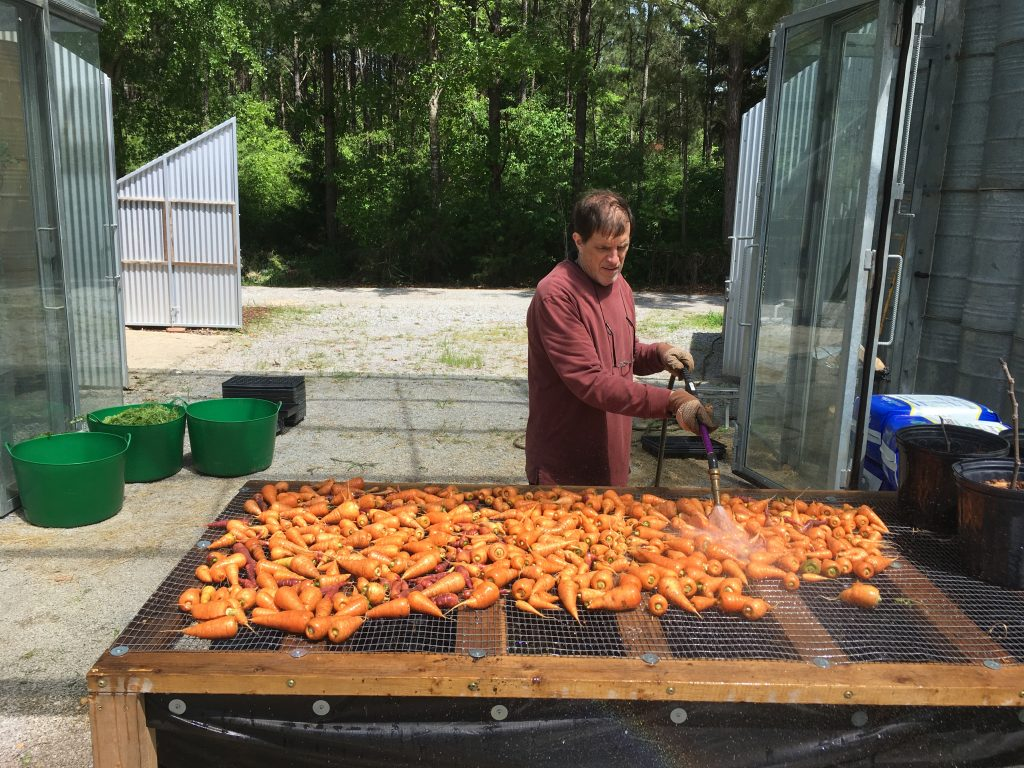 A professor washes down trimmed carrots on washing table
