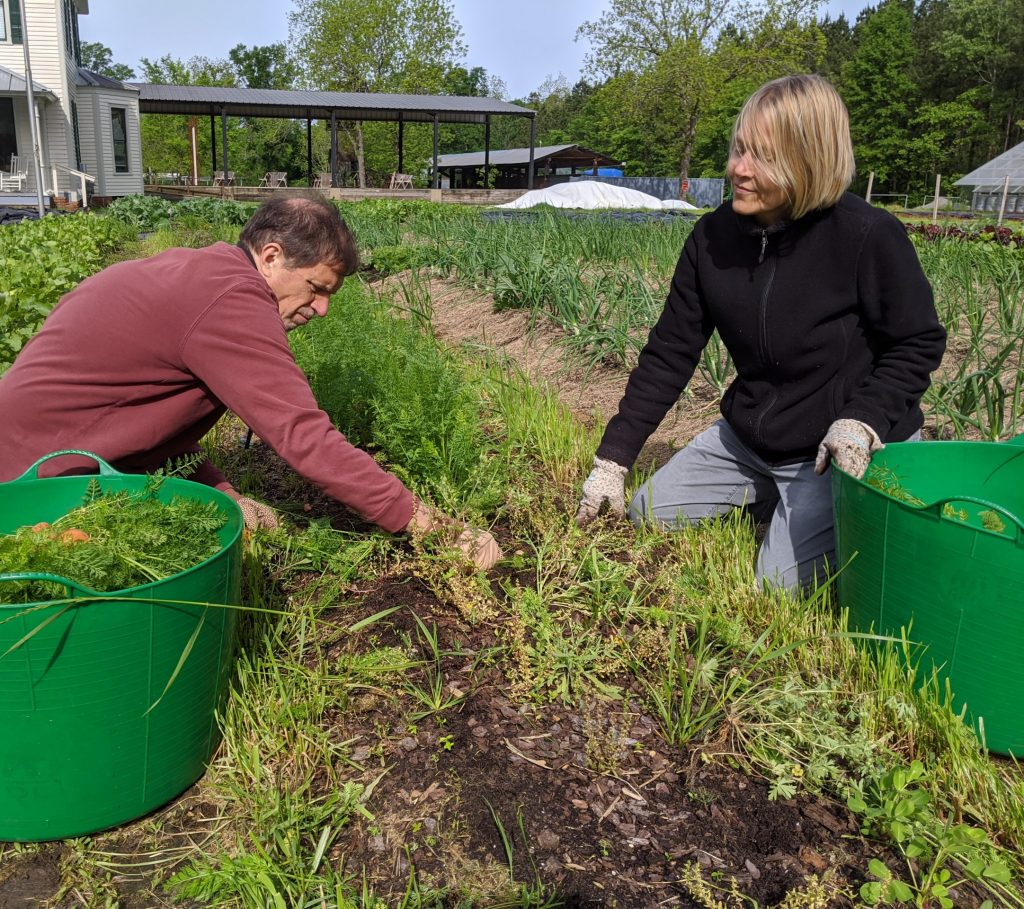 Two professors pick carrots from the field