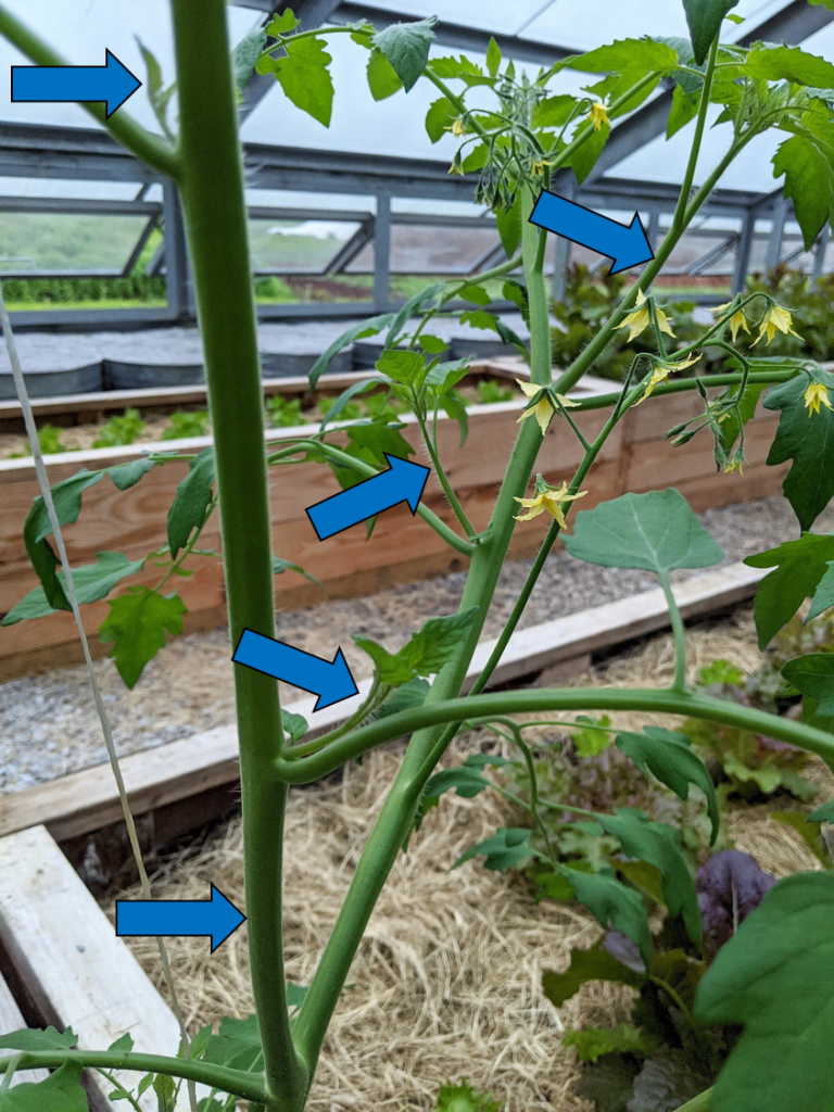 A tomato plant with suckers identified