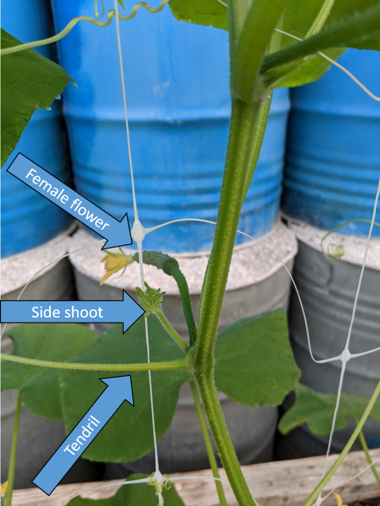 Picture showing tendril, female flower, and side shoot of cucumber leaf node