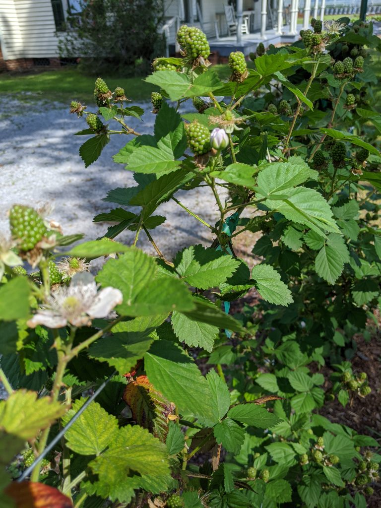 Flowering and fruiting blackberry canes grown along wire trellis