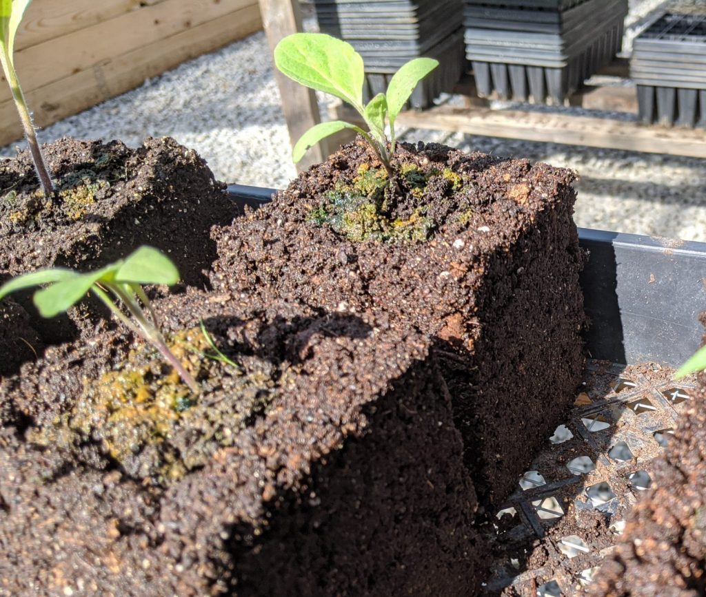 Eggplant seedlings sit in 4-inch soil blocks after being upgraded from 2-inch