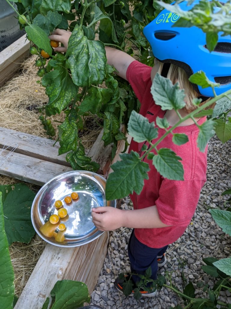 A little boy picks cherry tomatoes from the greenhouse