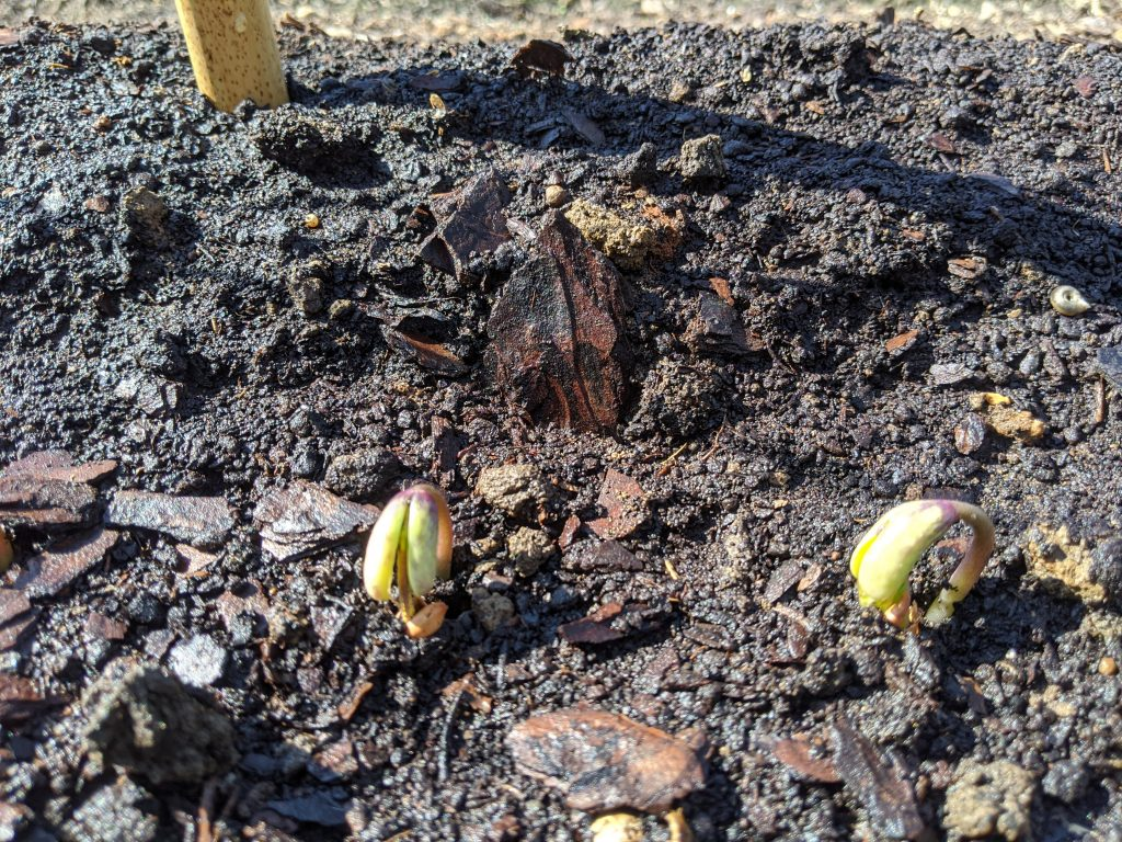 Pole bean seedlings begin to sprout