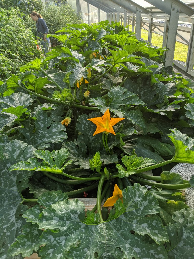 Large healthy zucchini plants thrive in the greenhouse