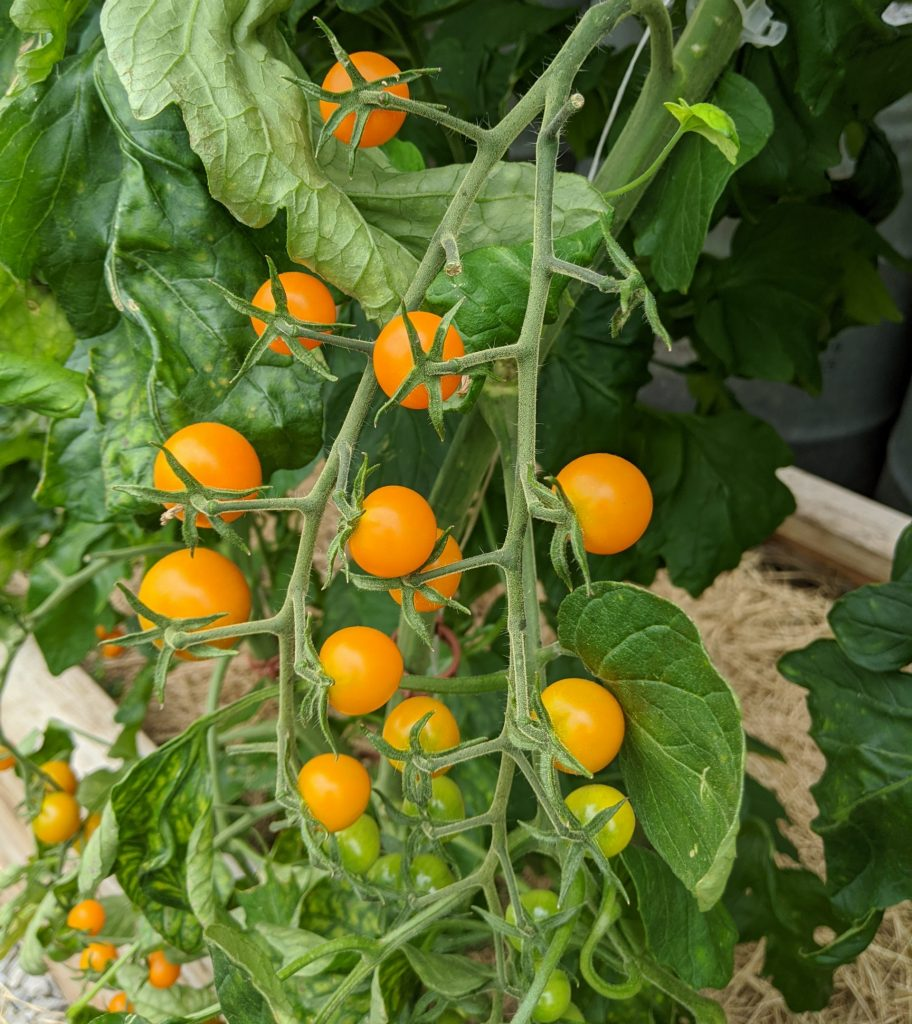 Ripe clusters of sun gold cherry tomatoes