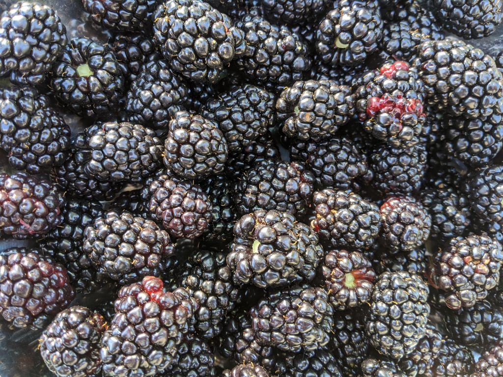 A mass of ripe, picked blackberries