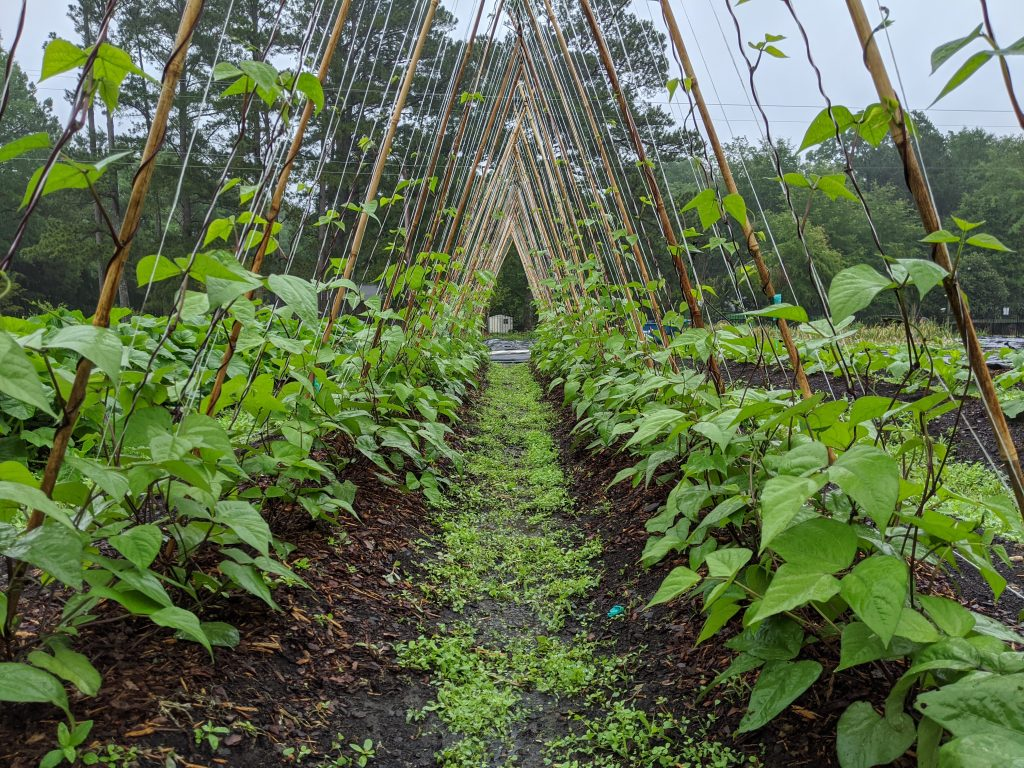 Growing pole beans climb the bamboo and twine trellis