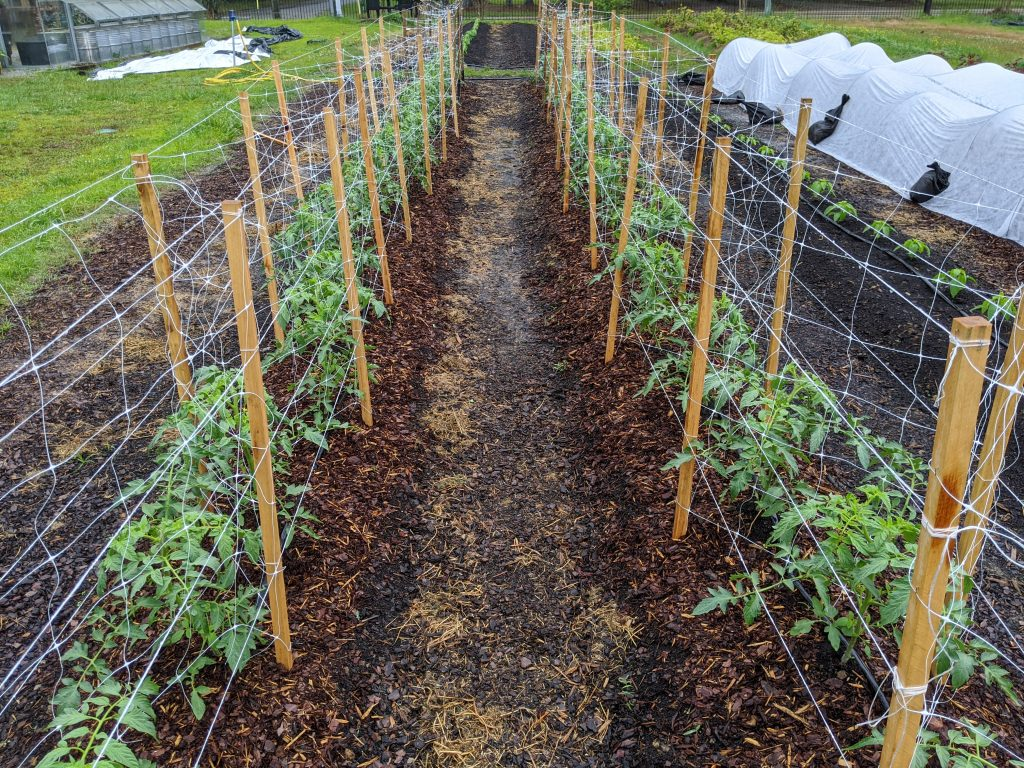 Recently transplanted tomato plants sit within their built climbing structures