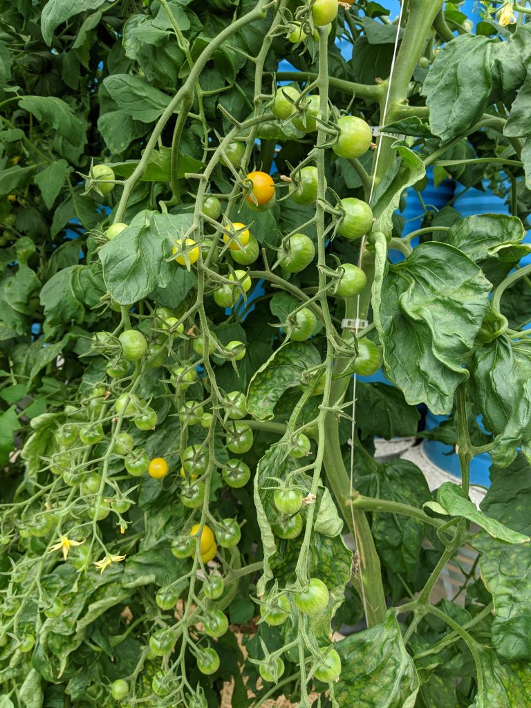 Large clusters of green sun gold cherry tomatoes in the greenhouse