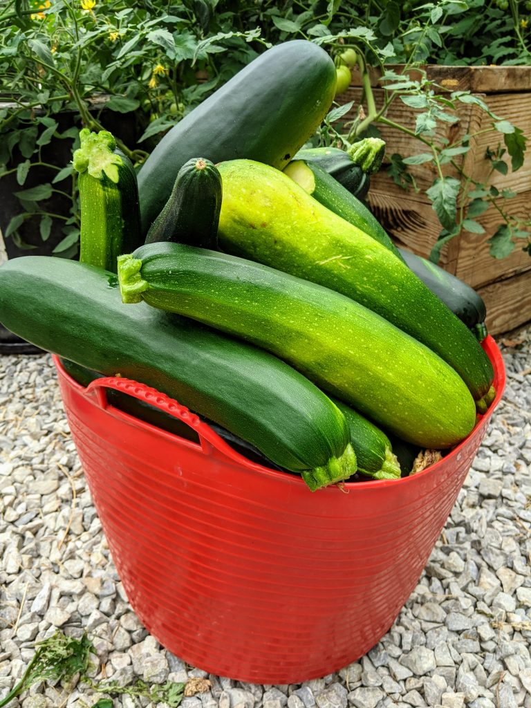 A ten gallon tub overflowing with ripe zucchini harvested from the greenhouse