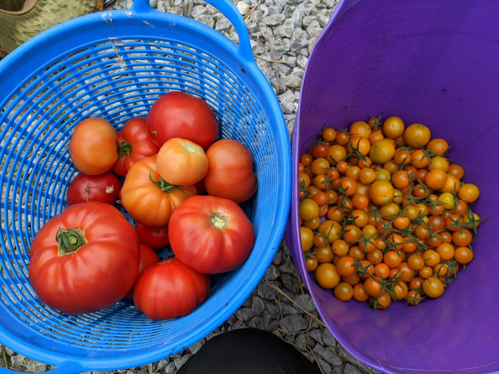 Two tubs of harvested greenhouse produce: one of sun gold cherry tomatoes and the other of regular red tomatoes
