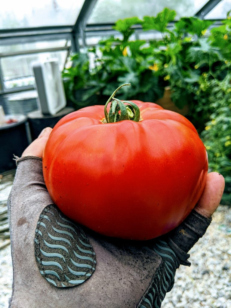 A large, red, ripe tomato from the greenhouse sits in a workers palm